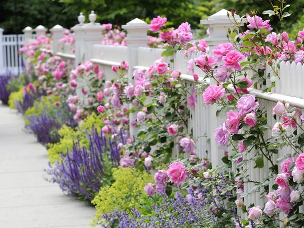 Розы у забора